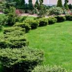 Picea abies — Ель обыкновенная «Nidiformis»
