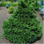 Picea abies — Ель обыкновенная «Barry»