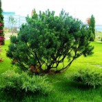 Pinus mugo  subsp. mugo — Cосна горная
