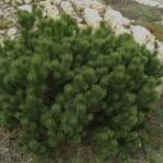 Pinus mugo — Cосна горная «Gnom»