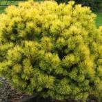 Pinus mugo — Cосна горная «Ophir»