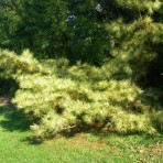Pinus dencioflora — Сосна густоцветковая «Oculus-Draconis»