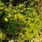 Pinus nigra — Сосна черная «Bambino»