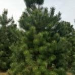 Pinus pallasiana — Сосна крымская