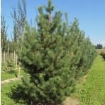 Pinus silvestris — Сосна обыкновенная