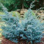 Janiperus chinensis — Можжевельник Китайский «Blue Alps»