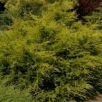 Janiperus chinensis — Можжевельник Китайский «Kuriwao Gold»