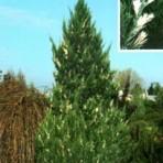 Janiperus chinensis — Можжевельник Китайский «Stricta variegate»
