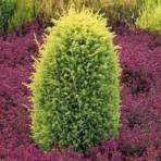 Juniperus comminus — Можжевельник обыкновенный «Gold Cone»