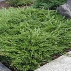 Juniperus horizontalis — Можжевельник горизонтальный «Andorra Compacta»