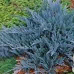 Juniperus horizontalis — Можжевельник горизонтальный «Blue Chip»