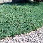 Juniperus horizontalis — Можжевельник горизонтальный «Wiltonii»
