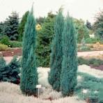 Juniperus scopulorum — Можжевельник скальный «Blue Arrow»
