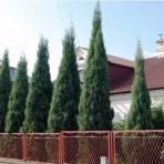 Juniperus scopulorum — Можжевельник скальный «Skyrocket»