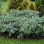 Juniperus virginia — Можжевельник виргинский «Hetz»