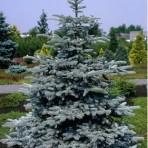 Picea pungens — Ель колючая «Hoopsi»
