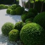 Buxus semperflorens — Самшит вечнозеленый