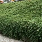 Cotoneaster dammri — Кизильник Даммера «Major»