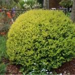 Ligistrum ovalofolium — Бирючина овалолистая «Aureum»