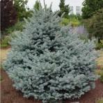 Picea pungens — Ель колючая «Montgomery»