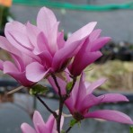 Magnolia — Магнолия «Вetty»