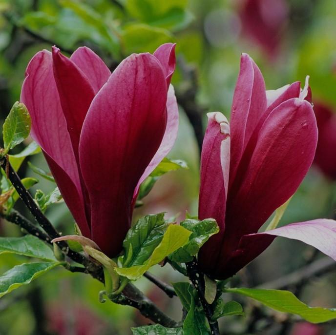 Magnolia lilifora — Магнолия лилиецветная «Nigra»