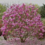 Magnolia — Магнолия гибридная «Susan»