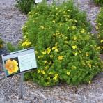 Potentilla frutikosa — Лапчатка кустарниковая «Goldteppich»