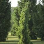Picea omorika — Ель сербская «BrunsPendula»