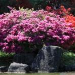 Азалия японская — Azalea japonica