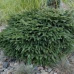 Picea omorika — Ель сербская «Karel»