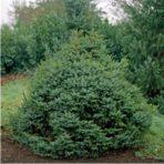 Picea omorika — Ель сербская «Nana»