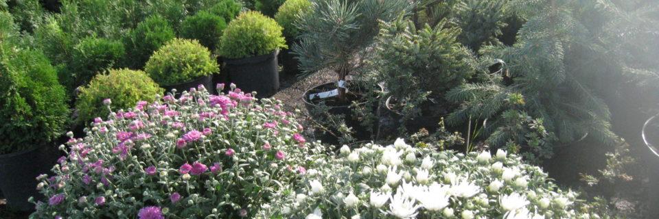 В нашем садовом центре Вы можете приобрести хвойные растения, розы, однолетние растения, многолетние растения, декоративные кусты