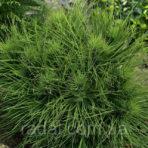 Pinus nigra — Сосна черная «Spilberg»